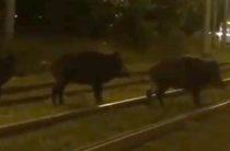 ВИДЕО: В Казани засняли кабанов перебегающих через трамвайные пути