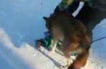 Соцсети: В Челябинском парке волк, которого выгуливал хозяин, напал на ребенка