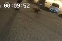 В Ярославле на тротуаре возле офиса МФЦ на человека напал медведь