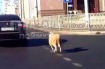 В центре Казани по дороге бегал баран (Видео)
