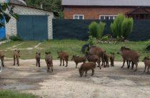 В Казани опять сфотографировали стадо кабанов