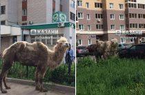 По Казани гулял заблудившийся верблюд